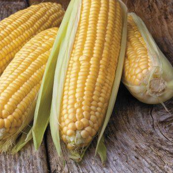 Sweet Corn Seeds