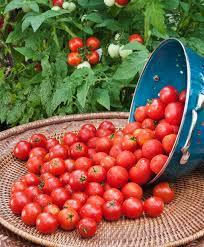 YELLOW CHERRY & RED CHERRY TOMATO SEEDS